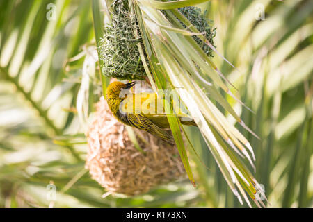 Cape Weaver (Ploceus capensis) bird hanging under its woven nest in a palm tree