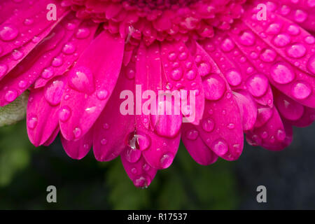 Macro of water drops from morning dew resting on the petals of a beautiful dark pink Gerbera flower. Blurry background. - Stock Photo