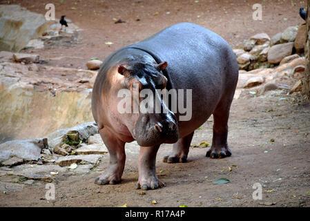 The common hippopotamus, or hippo, is a large, mostly herbivorous, semiaquatic mammal native to sub-Saharan Africa - Stock Photo