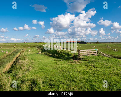 Polder landscape with grazing sheep, dike, grassland and farmhouse on West Frisian island Texel, Noord-Holland, Netherlands - Stock Photo