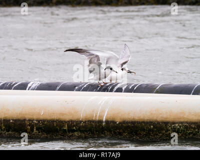 Common tern, Sterna hirundo adult in winter plumage and first year juvenile with fish in beak, Den Oever, Netherlands - Stock Photo