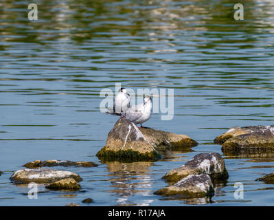 Two adult common terns, Sterna hirundo, in non-breeding plumage standing on rocks in water, Netherlands - Stock Photo