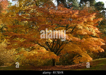 Stunning Japanese Acer Tree in Autumn - Stock Photo