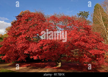 Stunning Red Japanese acer in full Autumn Colours - Stock Photo