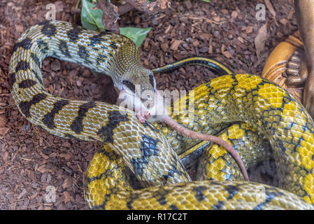 A Taiwan Beauty Snake in captivity eating a mouse - Stock Photo