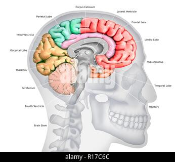 Illustration of a cross-section of the brain showing the various lobes. The lobes are shown in different colours - red (frontal), green (parietal), yellow (occipital), orange (temporal), and pink (limbic). Also shown are the various ventricles, the brain stem, the thalamus and hypothalamus, the cerebellum, the pituitary gland and the corpus callosum. The background shows a silhouette of a human skull and head. - Stock Photo