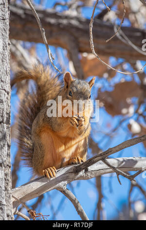 Eastern Fox Squirrel (Sciurus niger) in Plains Cottonwood tree in fall, Castle Rock Colorado US. Photo taken in November. - Stock Photo