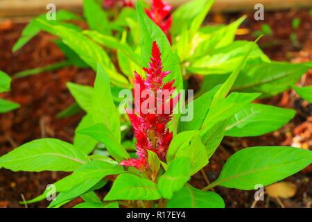 flower  plumed cockscomb red or Celosia argentea beautiful in the garden - Stock Photo