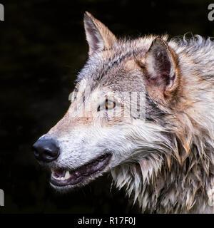 Tundra Wolf isolated on Black Background - Stock Photo