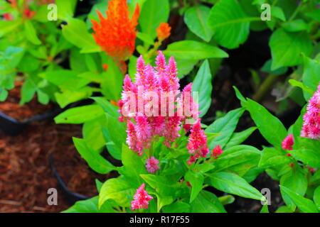 pink plumed cockscomb flower or Celosia argentea beautiful in the garden - Stock Photo