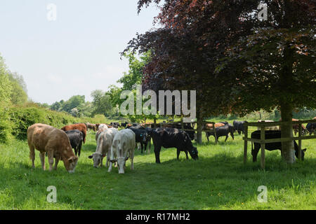 A mixture of breeds of beef cattle grazing on pasture at Hungerford Common in early summer, Berkshire, May - Stock Photo