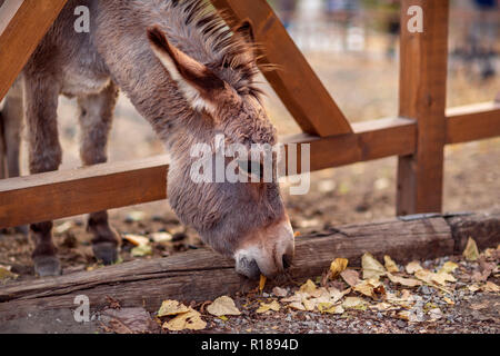 Friendly brown donkey outdoors in farm - Stock Photo