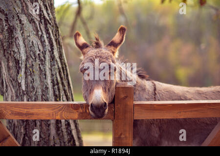 Friendly brown young donkey outdoors in farm - Stock Photo