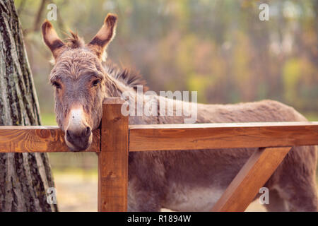 beautiful brown young donkey outdoors in farm - Stock Photo
