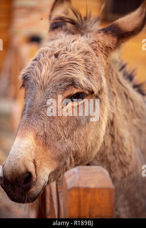 beautiful brown donkey domesticated member of the horse family - Stock Photo