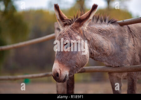 Beautiful Friendly brown donkey outdoors in farm - Stock Photo