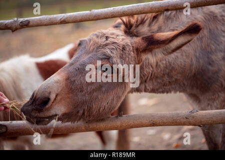 Young man feeds a beautiful donkey close up - Stock Photo