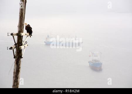 A bald eagle perched on an old electrical pole above the Bering Sea