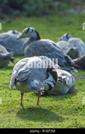 Bar-headed Geese (Anser indicus). - Stock Photo
