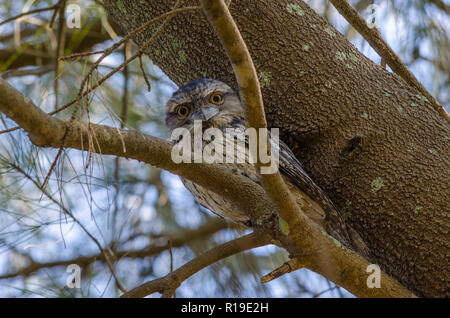 Tawny Frogmouth staring back. - Stock Photo