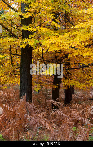 autumnal beech & bracken turning colour in Crooksbury woods on the road between Elstead & Seale, near Farnham & Godalming, Surrey, England - Stock Photo