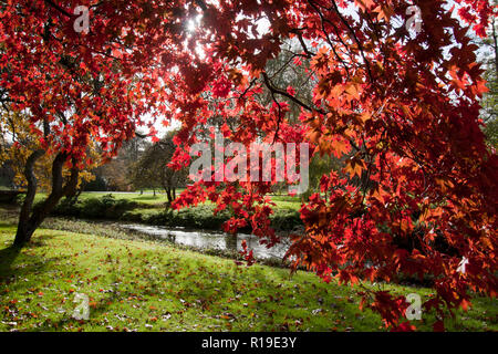 the vibrant colours of red maple tree (Acer rubrum) in autumn, Surrey, England - Stock Photo