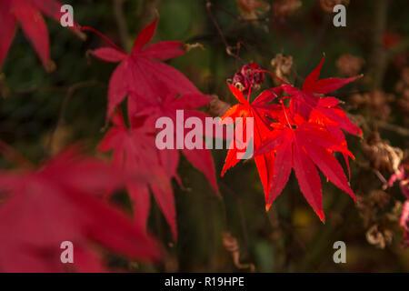 Acer Palmatum Bloodgood, a Japanese maple, in autumn in a Devon garden. - Stock Photo