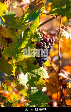 Red grapes in vineyard in late autumn colours - Stock Photo