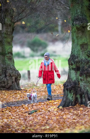 U.K. Weather. Clumber Park, Worksop, UK. , . After very heavy rain storms during the night, a female walker and her pet dog enjoy an afternoon walk along the tree lined avenue in Clumber Park on a dull and overcast autumn day, Clumber Park, Nottinghamshire, England, UK. Alan Beastall/Alamy Live New Credit: Alan Keith Beastall/Alamy Live News - Stock Photo