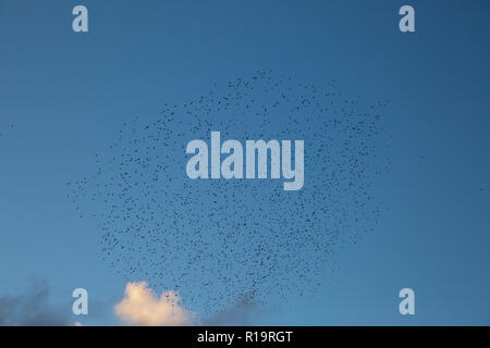 Aberystwyth,UK,10th November 2018,Starling Murmuration in Aberystwyth, Wales, as the sunsets on a windy Autumn afternoon Hundreds of starlings form amazing patterns and shapes as they group together before going under the pier to roost for the night.Credit: Keith Larby/Alamy Live News - Stock Photo