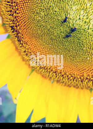 Tiny Australian native stingless bees on sunflower - Stock Photo