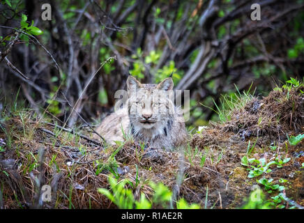 Canada Lynx resting in Denali National Park, Alaska. - Stock Photo