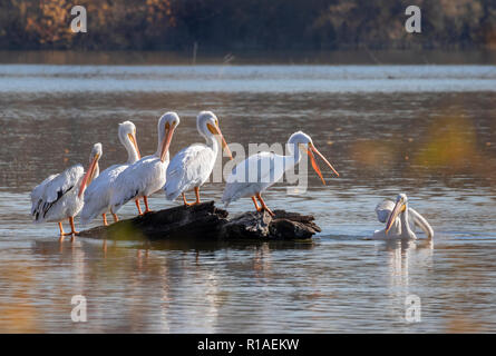 American white pelican (Pelecanus erythrorhynchos), a group during fall migration on a lake, Iowa, USA. - Stock Photo