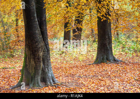 Autumn in the Savernake Forest in Wiltshire. - Stock Photo