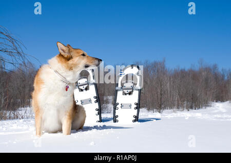 Beautiful Collie Dog in a Winter Scene with White Snowshoes - Stock Photo