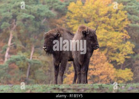 European bison in autumn - Stock Photo