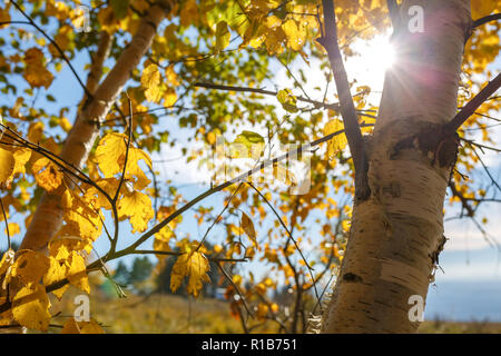 The sun ray breaks through the yellow foliage of birch against the blue sky - Stock Photo