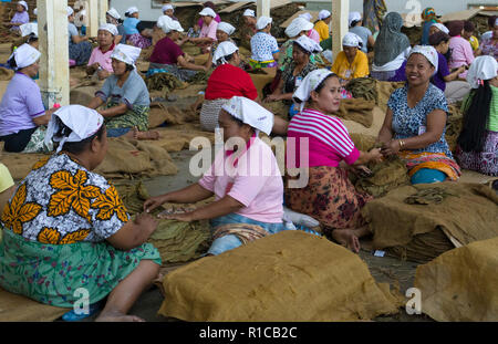 KALIBARY , JAVA INDONESIE -18 AUGUSTUS ,2018:Women are at work in a tobacco factory where the tobacco leaves are processed into tobacco, for cigars. - Stock Photo