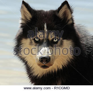 The Siberian Husky is a medium size working dog breed that originated in Northeast Asia. The breed belongs to the Spitz genetic family. With proper tr - Stock Photo