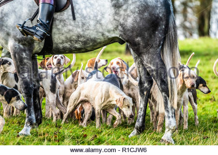 Roberton, Hawick, Scottish Borders, UK. 10th November 2018. The Duke of Buccleuch foxhounds flush foxes to guns in the Hawick hills. The areas economy - Stock Photo