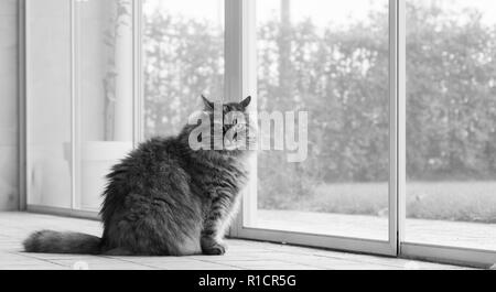 Hypoallergenic kitten of livestock, long haired cat outdoor.Siberian purebred - Stock Photo