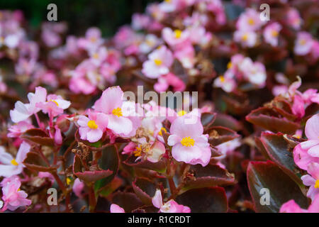 Many beautiful begonia flowers close up. Pink and yellow colors - Stock Photo
