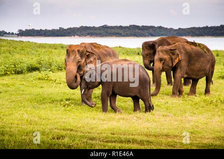 Elephants in Kaudulla National Park, Sri Lanka - Stock Photo