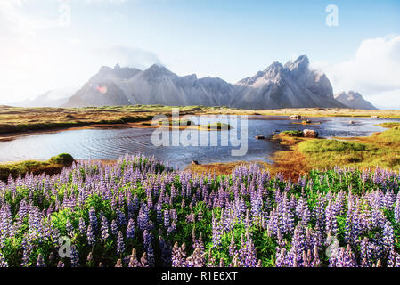 The picturesque landscapes of forests and mountains of Iceland. Wild blue lupine blooming in in summer - Stock Photo