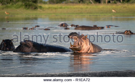 Hippos swimming in a pond, one with its mouth open wide, protecting his territory, Okavango Delta, Botswana - Stock Photo