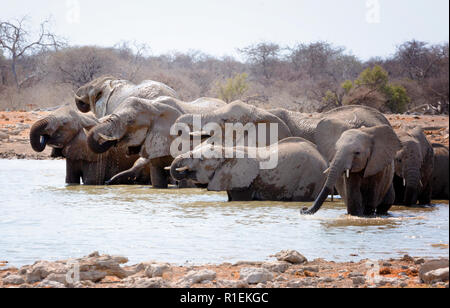 Namibia wildlife - a herd of african elephants ( Loxodonta Africana ) at a waterhole, Etosha national park, Namibia Africa - Stock Photo