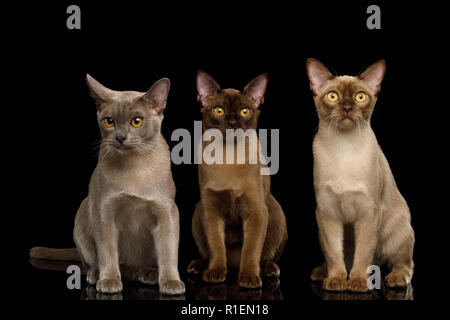Three Burma Cats Sitting and Looking in Camera, isolated on black background, front view - Stock Photo