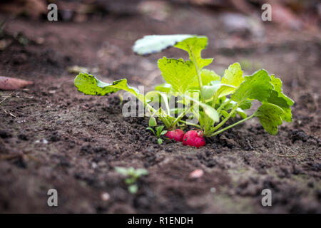 Just growing fresh red radish in the spring time on the black soil - Stock Photo