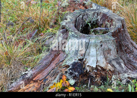 A hollow tree stump in an autumn forest in Bogesundslandet, near Stockholm, Sweden - Stock Photo