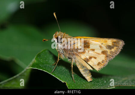 Zabulon Skipper, Poanes zabulon, male - Stock Photo